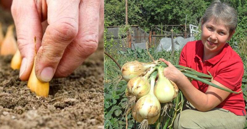 Из дневника дачницы: 4 совета, которые помогут вырастить рекордный урожай лука!