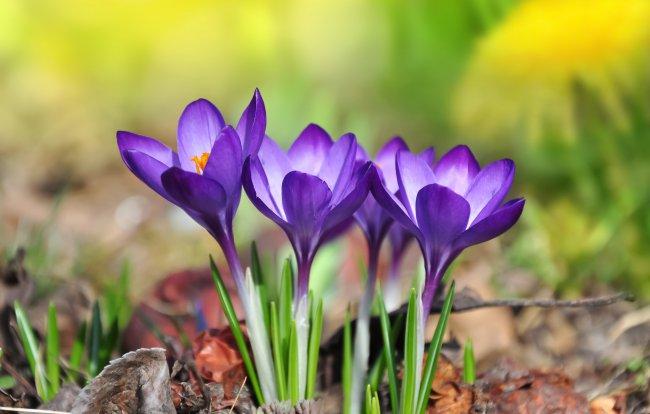 Два простых способа посадить крокусы в грунт