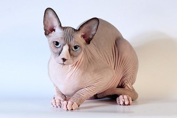 Подруга купила лысую кошку — канадского сфинкса...