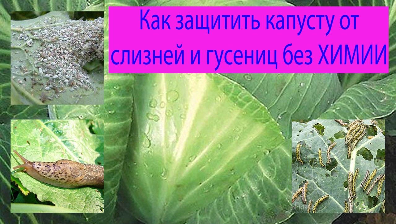 обработать капусту от вредителей без химии