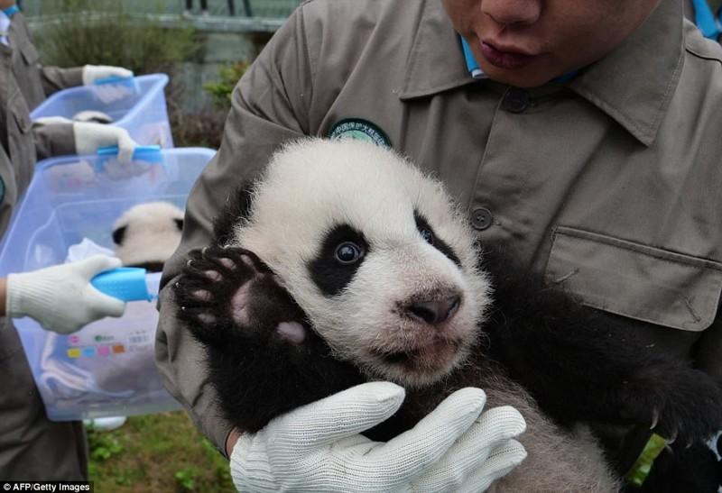 Эти детеныши панды сломают ваш мимиметр