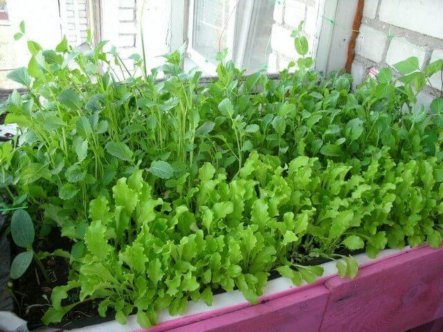 Руккола на подоконнике - выращиваем дома из семян.