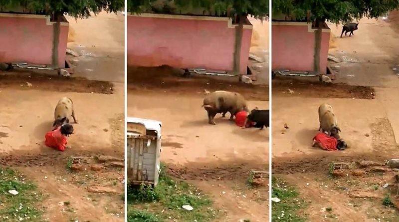 В Индии две разъяренные свиньи прямо посреди улицы напали на женщину