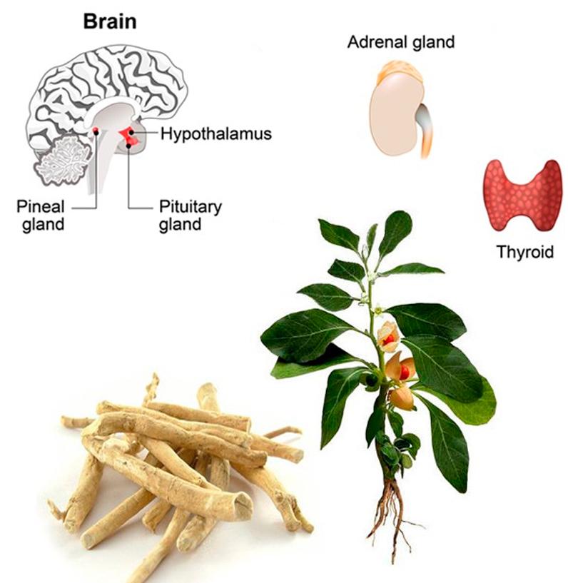 Бесценный адаптоген для надпочечников, мозга и щитовидной железы