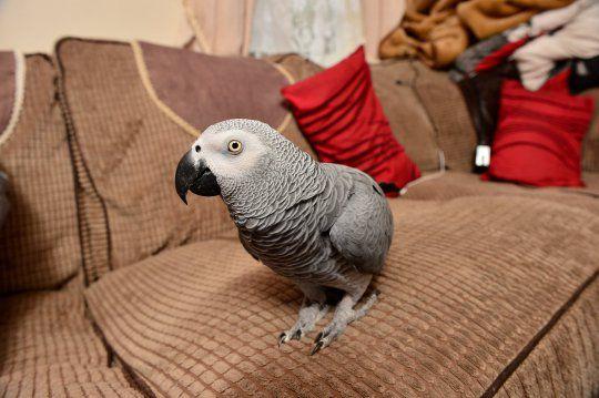 В британском Давентри из-за попугая вызвали пожарных