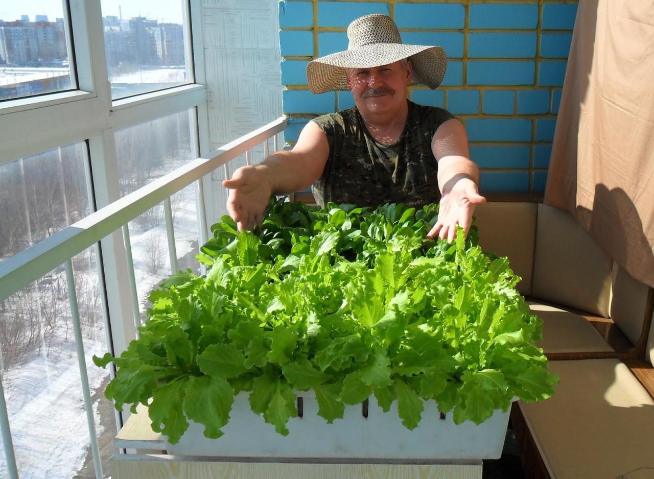 Виктор сергеенко вырастил вот такой салат у себя на лоджии!.