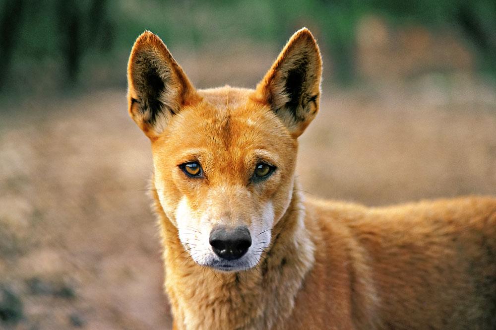 Собаки с волчьим билетом