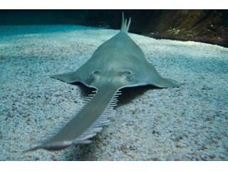 Европейский пилорыл, рыба, которая может «навалять» акуле