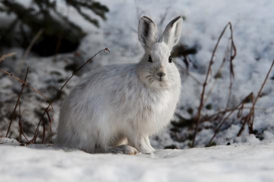 Умный заяц и проворная лисица