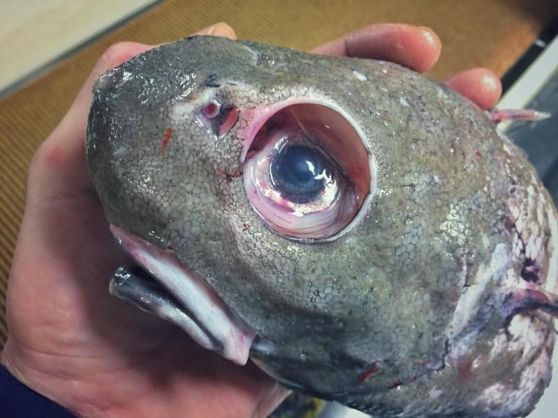 Это не черепаха, а очередная рыба с глубины монстры, море, рыбалка, рыбы, улов