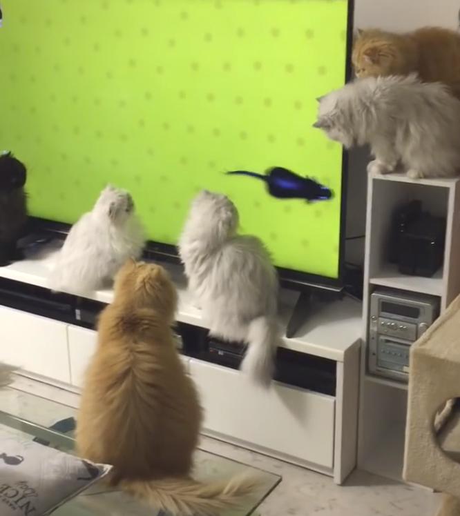 Парень включил для своих десятерых котов телевизор и их реакция просто очаровательна!