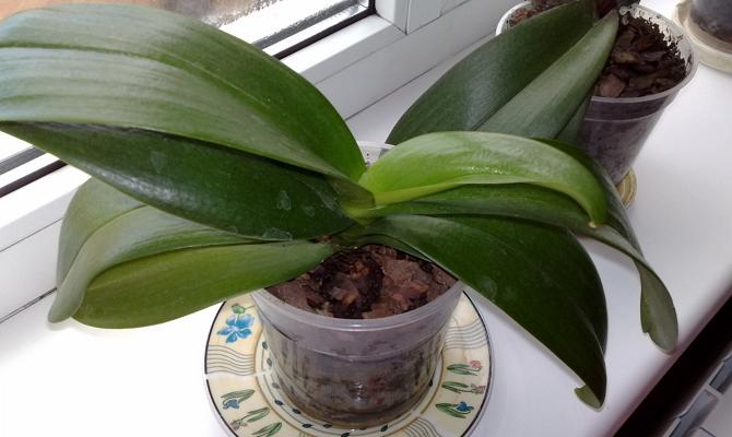 Не растет не цветет орхидея