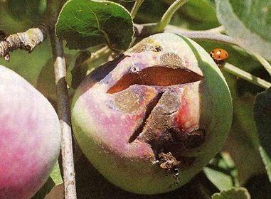 Опасна ли яблочная парша для человека