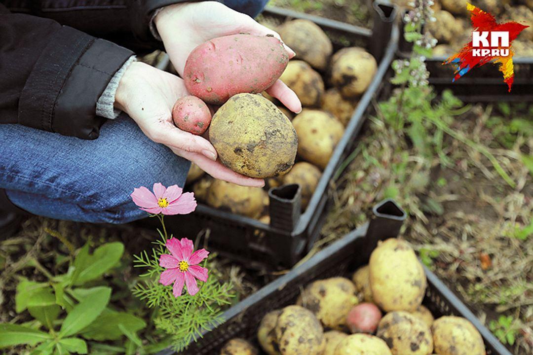 Перед тем, как закладывать картофель на хранение, выберите несколько картофелин из разных мест рассыпанной на просушку кучи Фото: Мария ЛЕНЦ