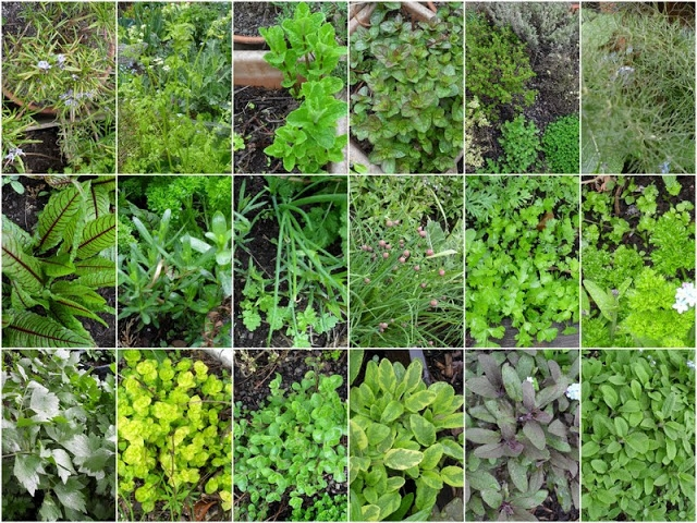 ТОП лучших многолетних пряных трав для открытого грунта
