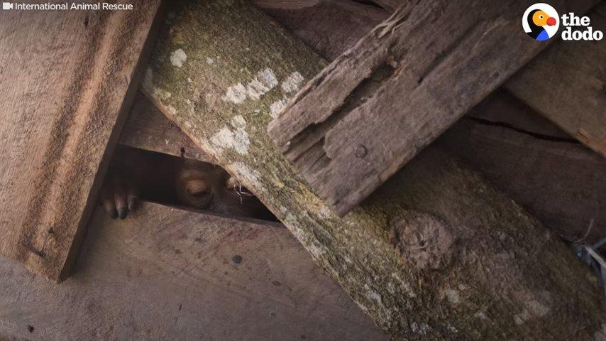 Две недели орангутан просидел взаперти в ящике
