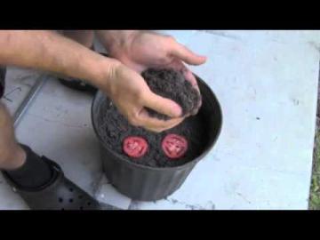 Самый простой способ вырастить рассаду томатов