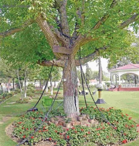 Дерево, которое было арестовано