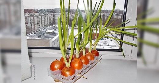 Самый легкий способ выращивания лука на подоконнике. Вырасти лук сам