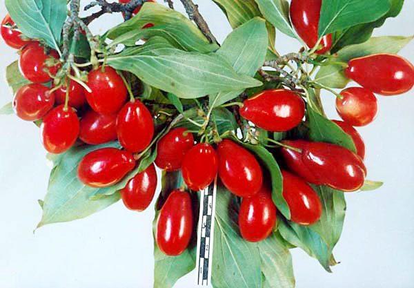 Полезные рецепты из ягод кизила