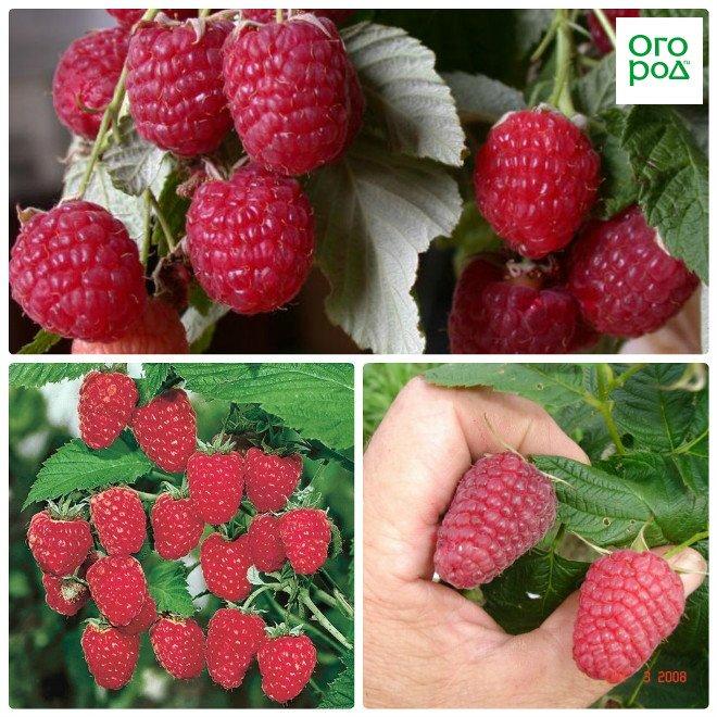 Лучшие сорта малины с высоким урожаем