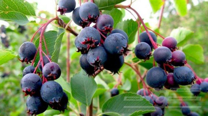 Воробьиное лакомство или что такое сибирский виноград