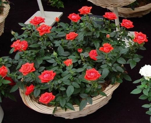 «Хлебные» поливы: настой для хорошего цветения