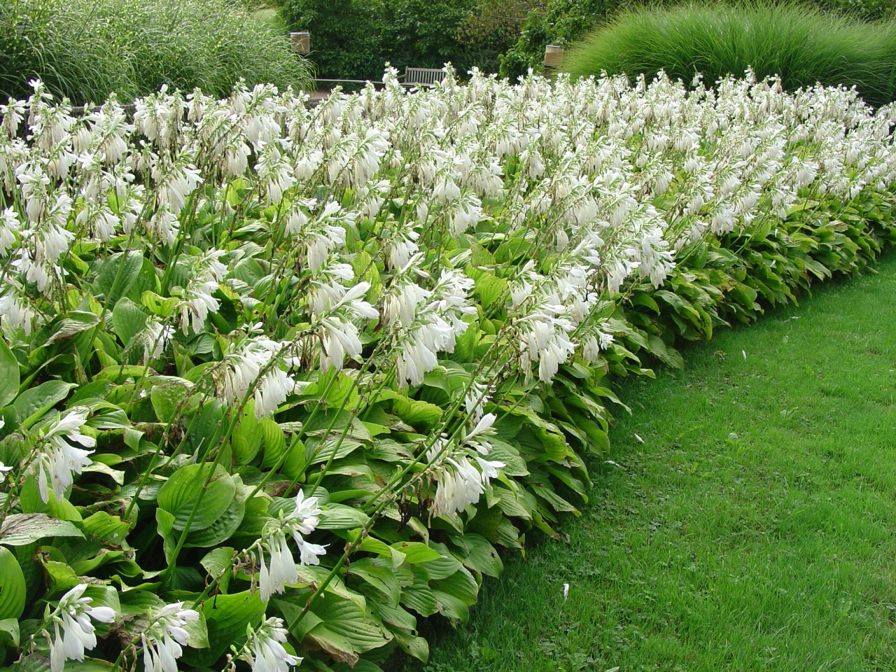 белая хоста посадка весной