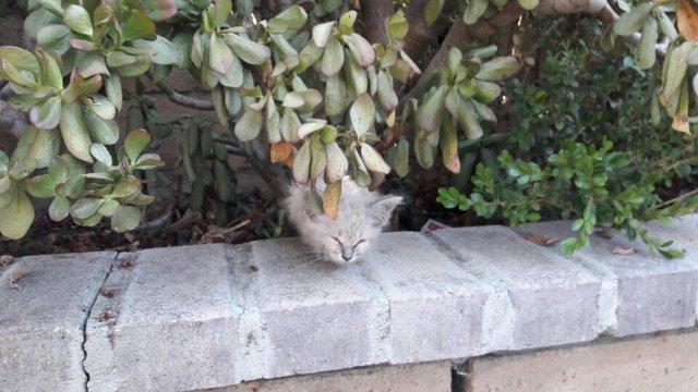 Тощий и больной котенок превратился в роскошную пушистую кошку