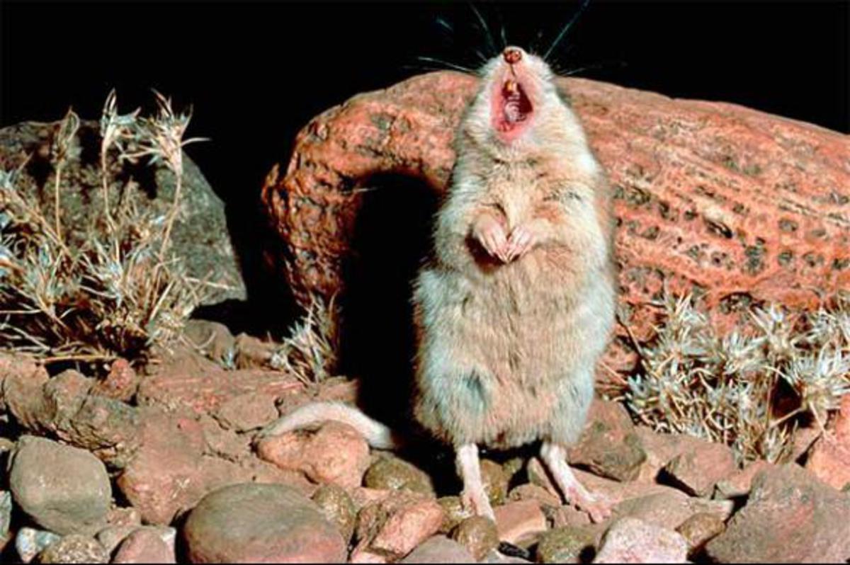 Как поющие мыши помогут в изучении человеческого мозга