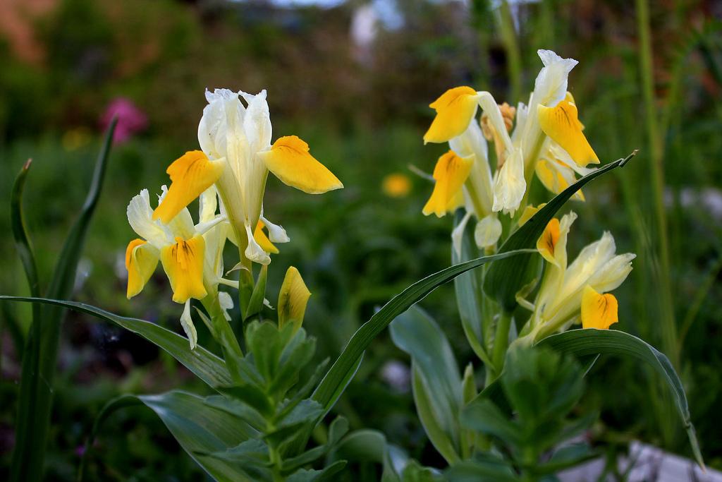 Юнона бухарская - богиня цветника!