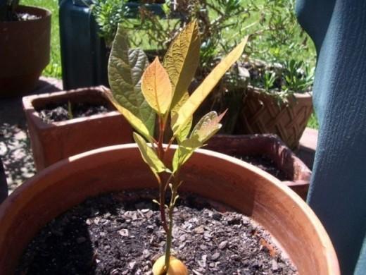 Секреты выращивания авокадо в домашних условиях.