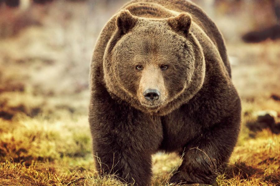 Клинтон обещает поймать «русского медведя»