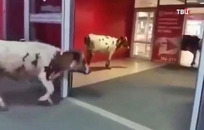 В торговый центр Сургута нагрянули коровы. Видео