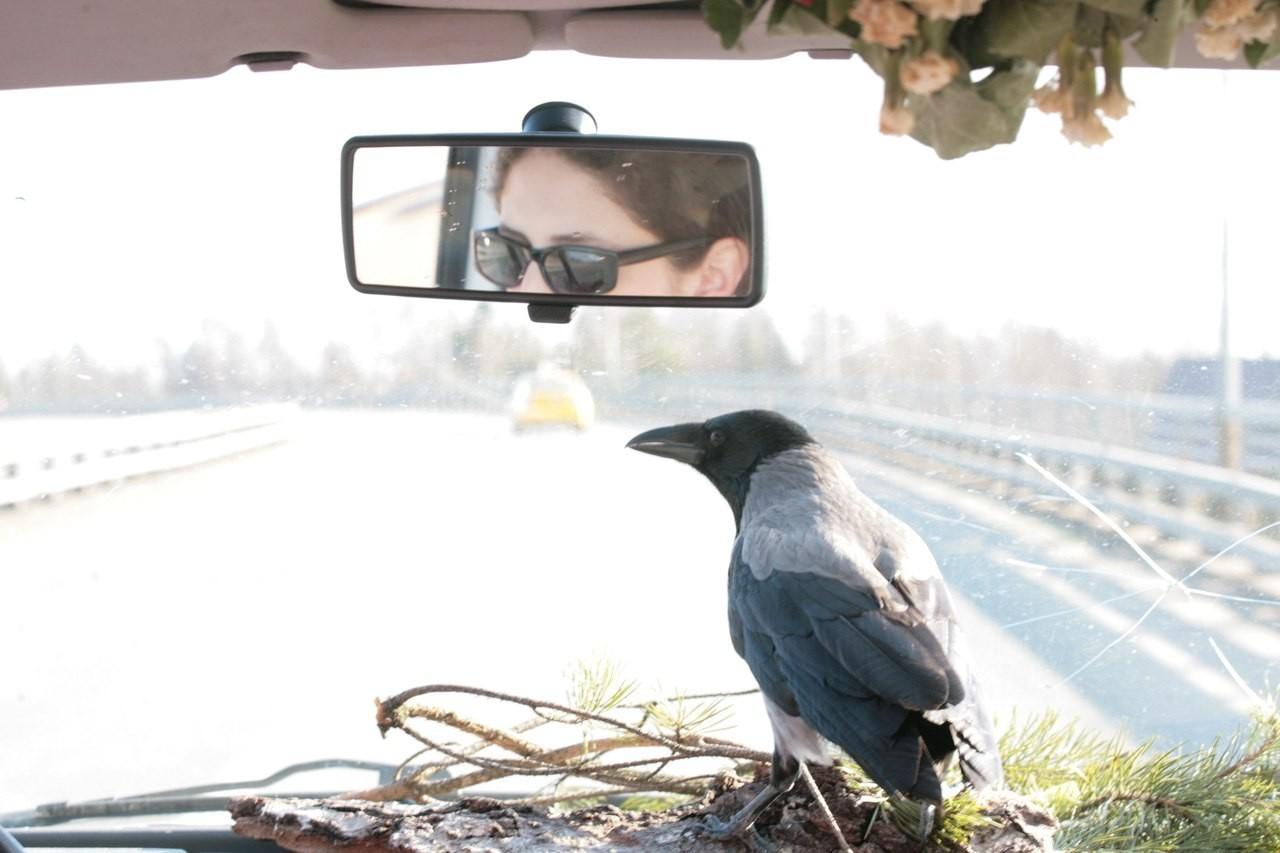 В Петербурге ищут ручную ворону без хвоста, любящую автомобили