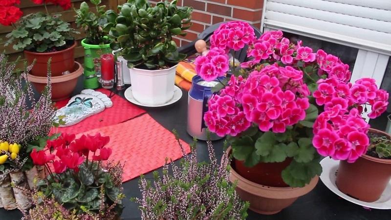 как обрезать герань для цветения