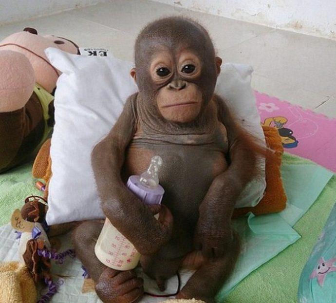 Малыша орангутанга никогда ничем не кормили… кроме сгущёнки