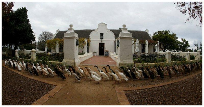 Нанятые утки в Южной Африке идут на виноградник есть улиток