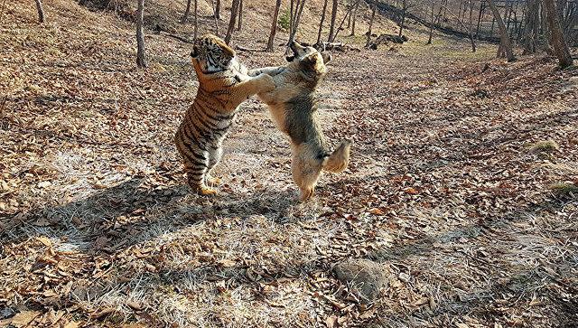 Сын тигра Амура не стал дружить с сыном козла Тимура