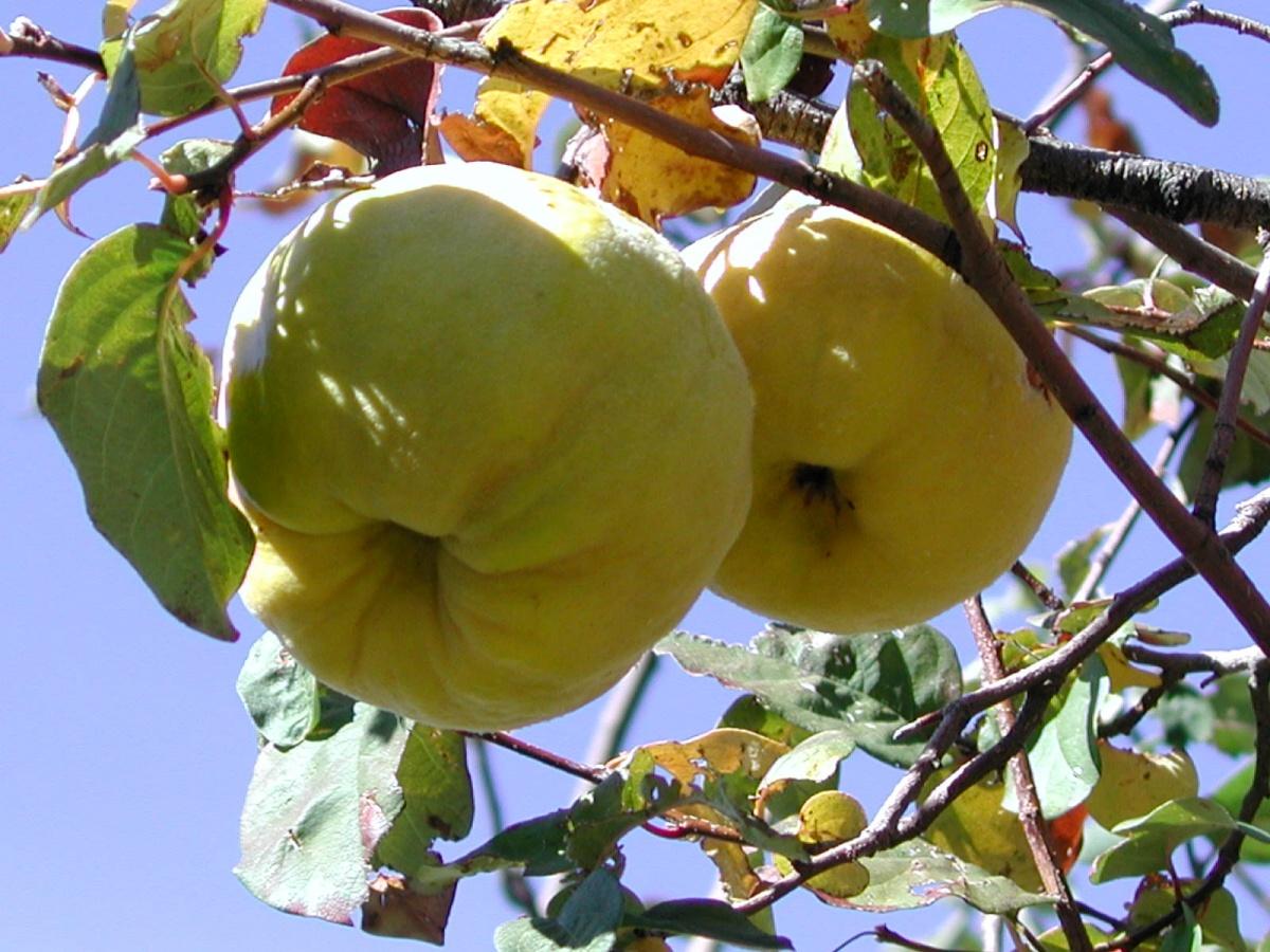 Айва обыкновенная (Cydonia oblonga)