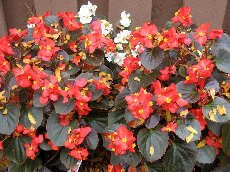 Бегония: описание цветка, характеристика и фото. Как выглядит бегония?