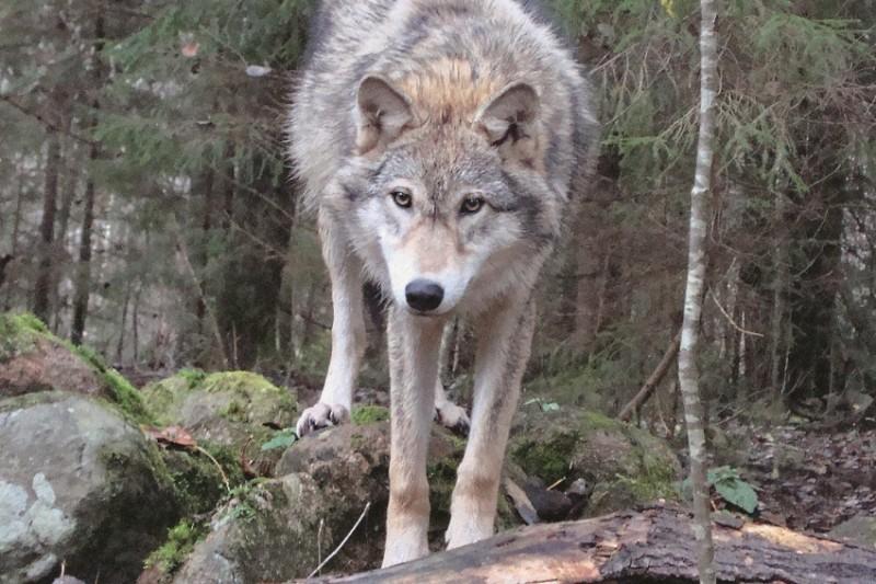 Как прожить в волчьей стае. История учёного, которого приняли в семью дикие звери