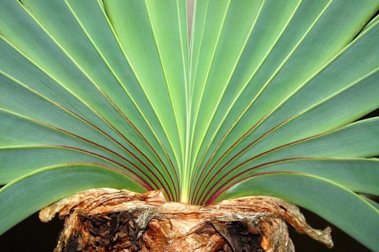 8. Boophane Disticha дом, растения