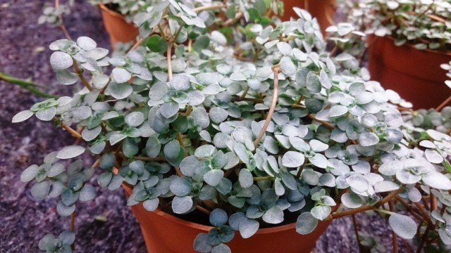 Пилея либанская или Пилея ливанская (Pilea libanensis)