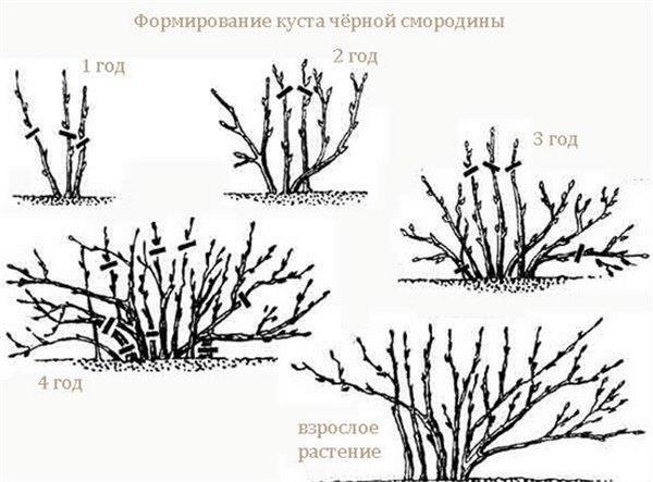 Смородина на участке возле дома. Выбор сорта смородины, выращивание, уход (фото), основные вредители и болезни