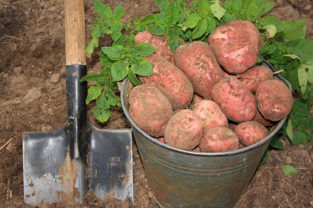 Посадка картофеля: огородные эксперименты