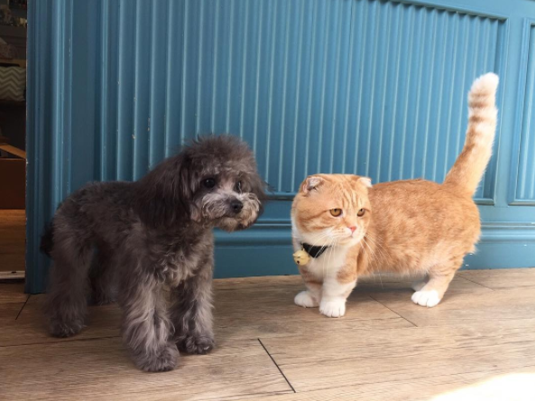 17. Они даже с собаками находят общий язык  животные, кошка, манчкин