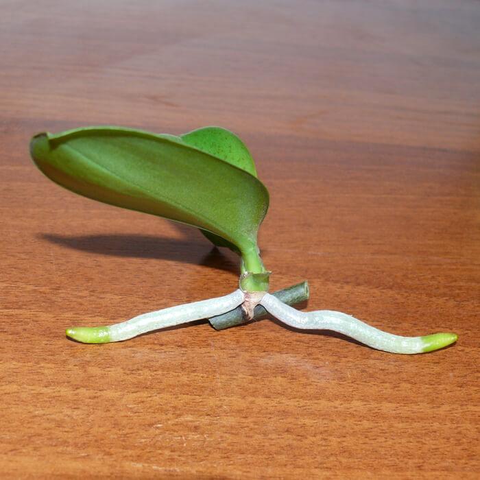 Размножение орхидей в домашних условиях из детки