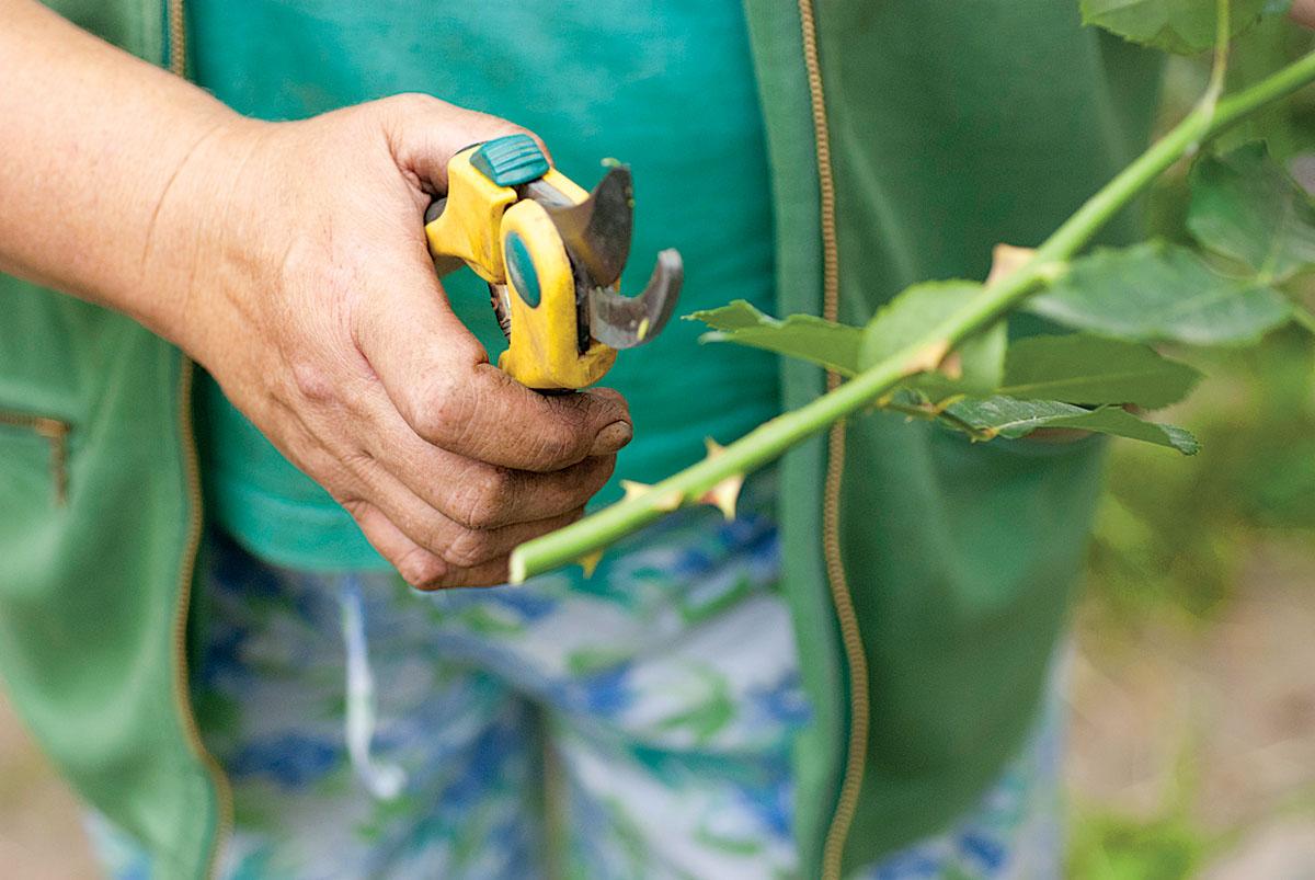 Как хранить черенки роз зимой