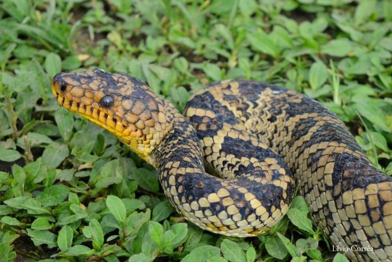 Одна из самых редких в мире змей попала на видео